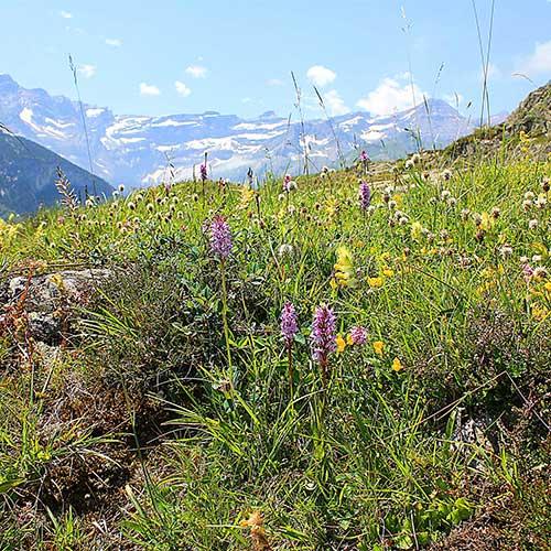 Pyrenees Dactylorhiza fuchsii