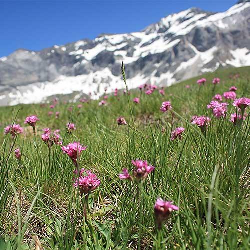 Pyrenees cirque de troumouse flowers