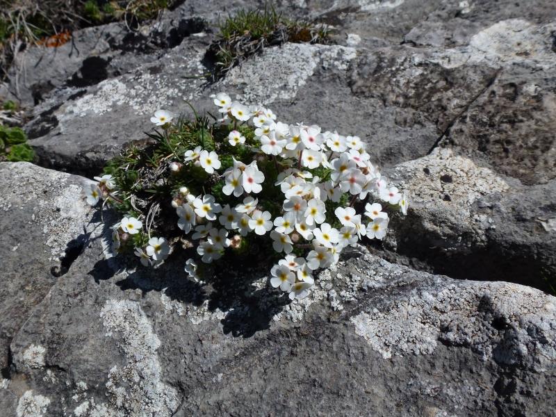 Primulaceae Androsace villosa