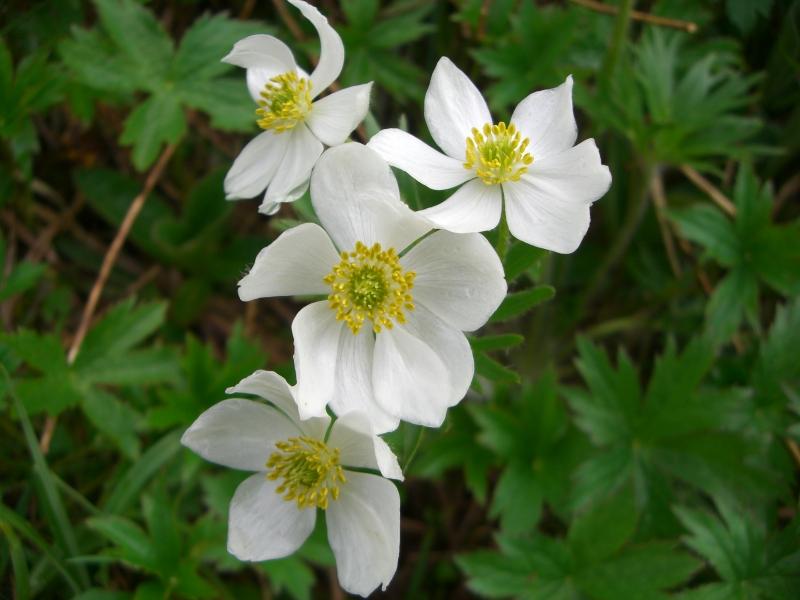 Ranunculaceae Anemone narcissiflora