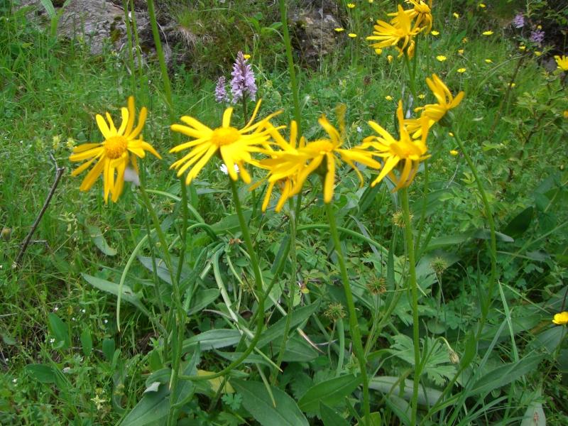 Asteraceae Arnica montana