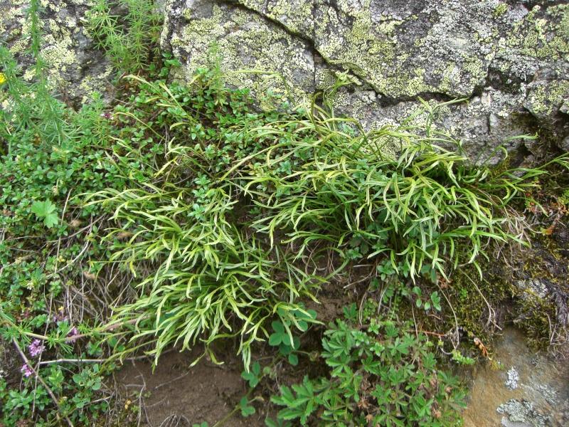 Aspleniaceae - Ferns Asplenium septentrionale
