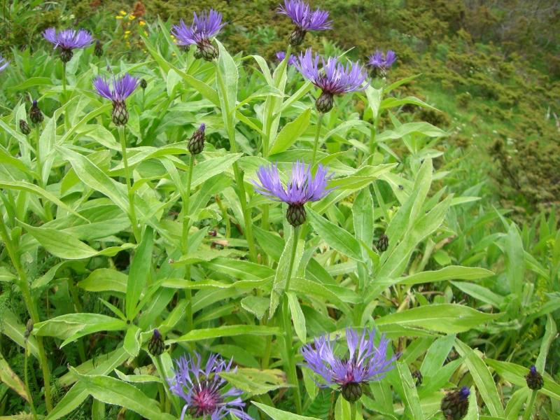 Asteraceae Centaurea montana