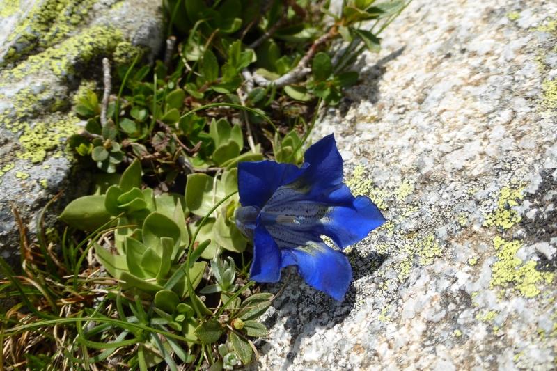 Gentianaceae Gentiana alpina