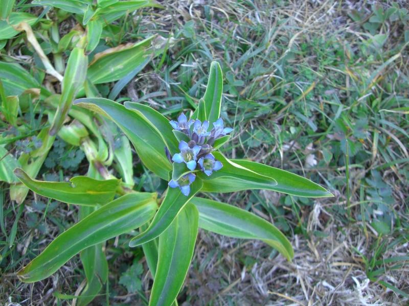 Gentianaceae Gentiana cruciata