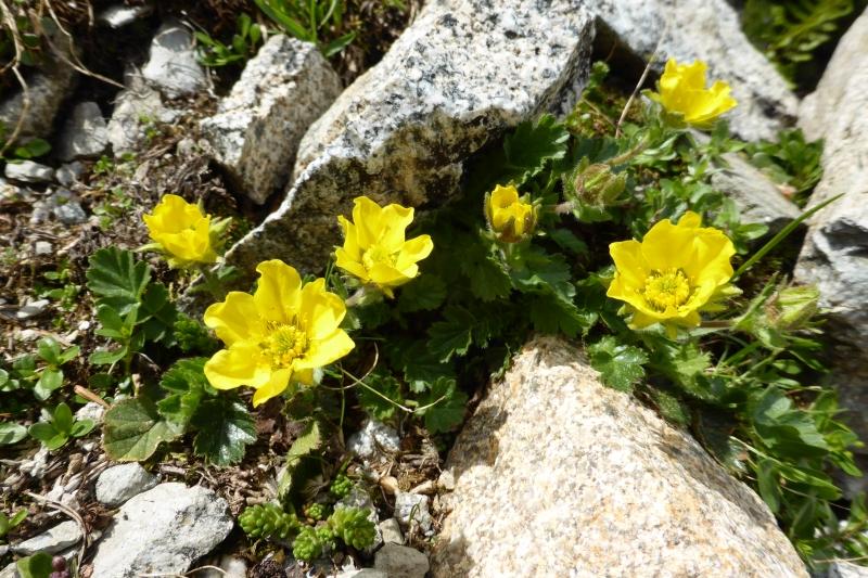 Rosaceae Geum montanum