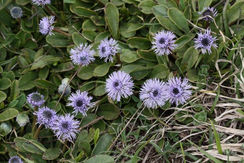 Globulariaceae Globularia nudicaulis