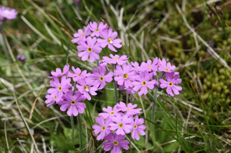 Primulaceae: Primula farinosa