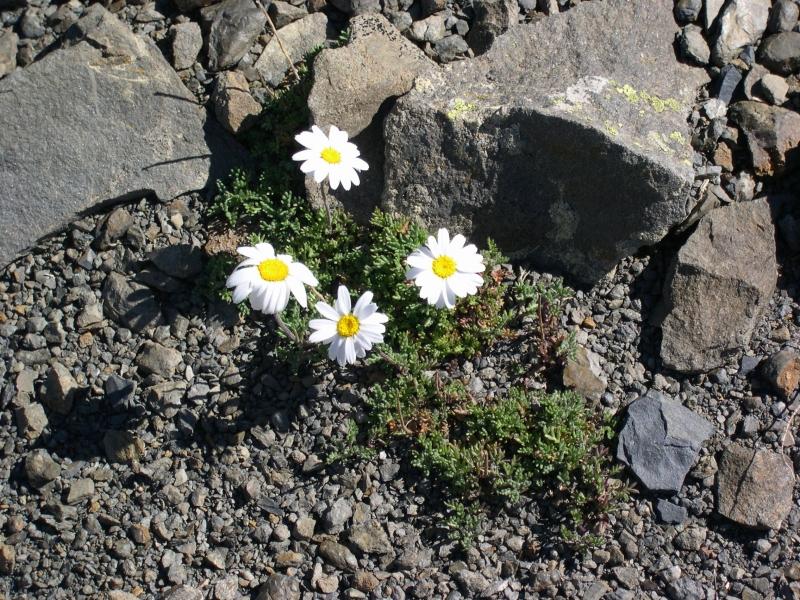 Asteraceae Leucanthemopsis alpina