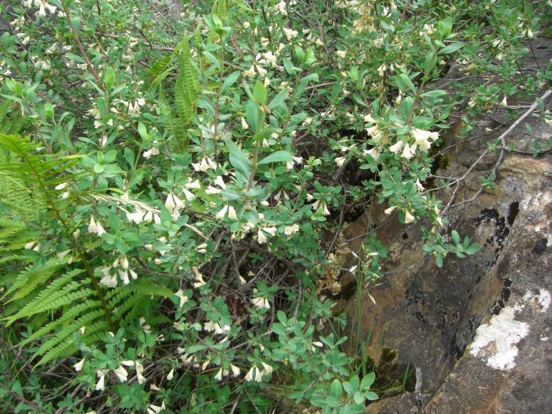 Caprifoliaceae Lonicera pyrenaica