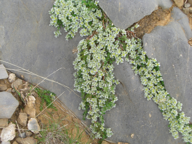 Caryophyllaceae Paronychia Kapela ssp serpyllifolia