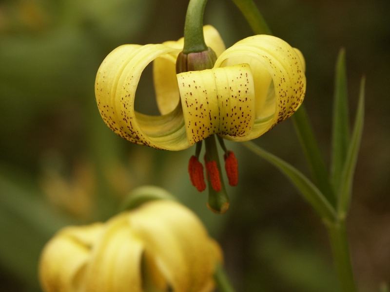 Liliales  Lilium pyrenaicum
