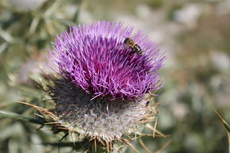 Asteraceae Cirsium eriophorum