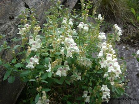 Scrophulariaceae Antirrhinum sempervirens