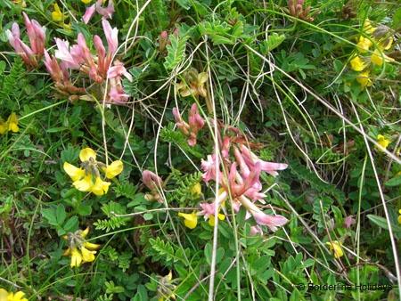 Papilionaceae Astragalus monspessulanus