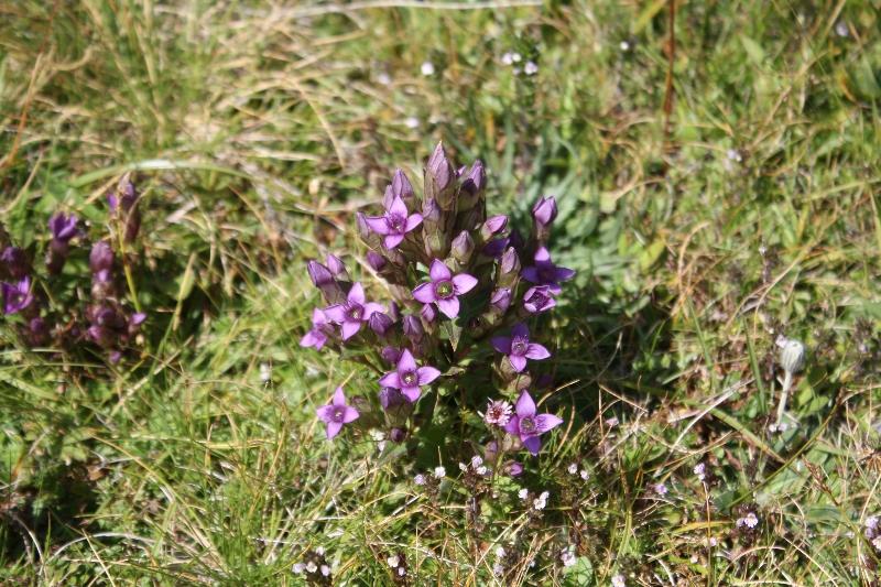 Gentianaceae Gentianella campestris