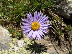 Asteraceae Aster alpinus