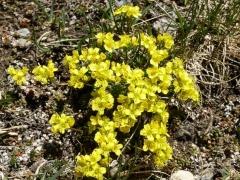 Brassicaceae Draba aizoides