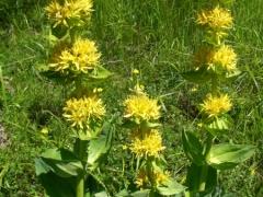 Gentianaceae Gentiana lutea