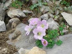 Geraniaceae Geranium cinereum
