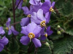 Gesneriaceae Ramonda myconi