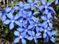 Gentianaceae Gentiana verna