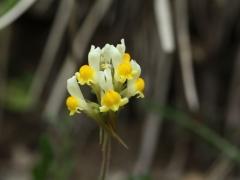 Scrophulariaceae Linaria