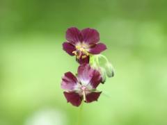 Geraniaceae Geranium phaeum