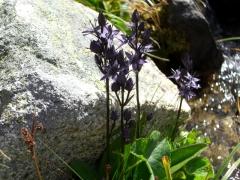 Gentianaceae Swertia perennis