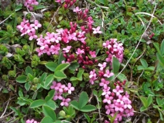 Thymelaeacae Daphne cneorum