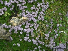 Globulariaceae Globularia repens nana