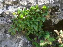 Rhamnaceae Rhamnus pumilus