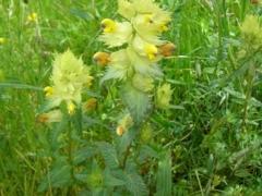 Scrophulariaceae Rhinanthus minor