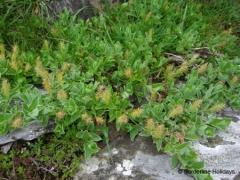 Salicaceae Salix pyrenaica