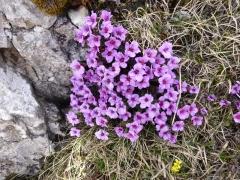 Saxifragaceae Saxifraga oppositifolia