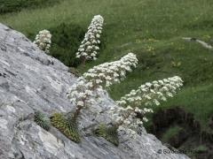 Saxifragaceae Saxifraga longifolia