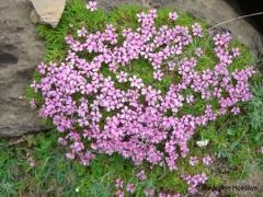 Caryophyllaceae Seline acaulis