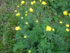 Ranunculaceae Trollius europaeus