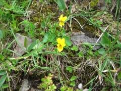 Violaceae Viola biflora