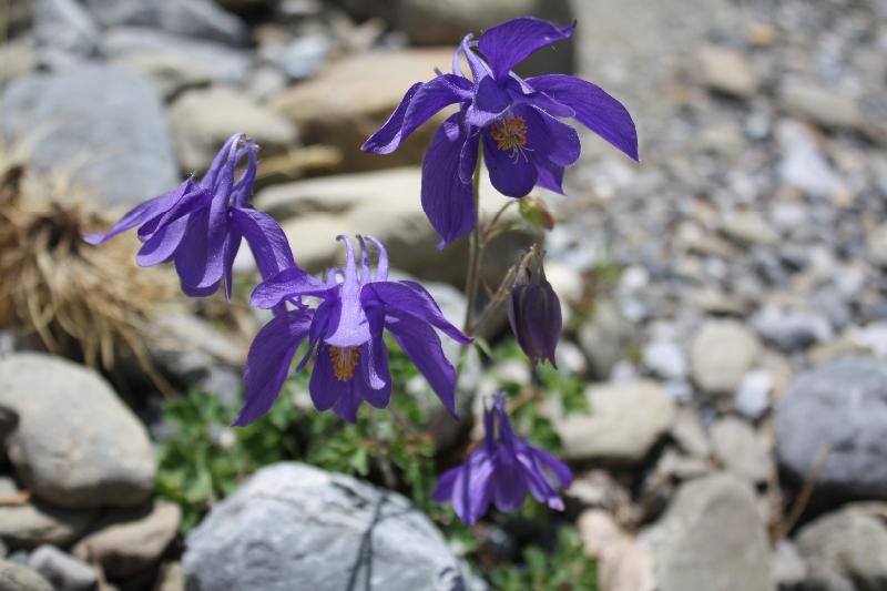 Ranunculaceae Aquilegia pyrenaica