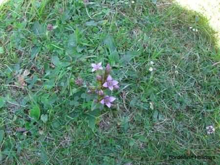 Gentianaeae Gentianella campestris