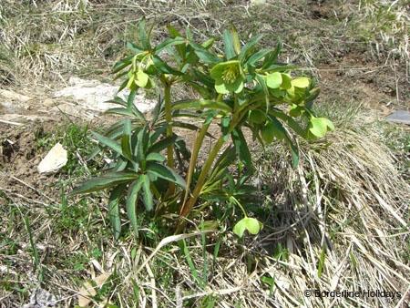 Ranunculaceae Helleborus foetidus