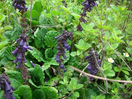 Lamiaceae Horminum pyrenaicum