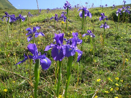 Iridaceae Monocotyledons Iris xiphiodes