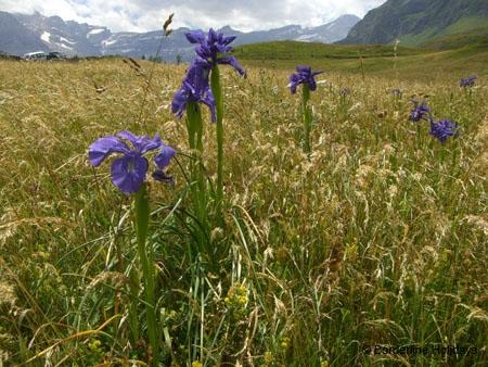 Iridaceae Iris xiphiodes