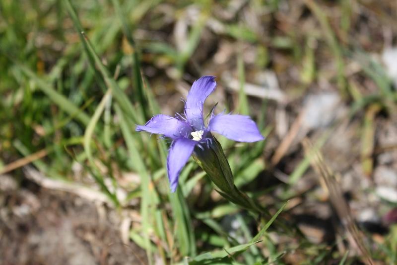Gentianaceae Gentianella ciliata