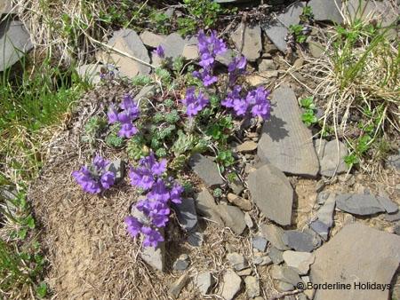 Scrophulariaceae Lineria alpina