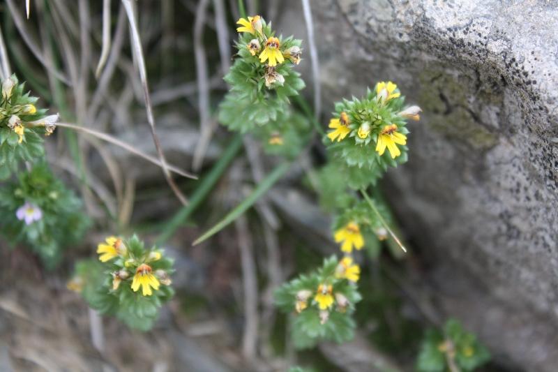 Scrophulariaceae Euphrasia minima