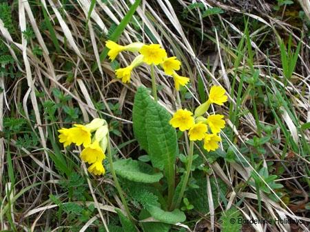Primulaceae Primula elatior