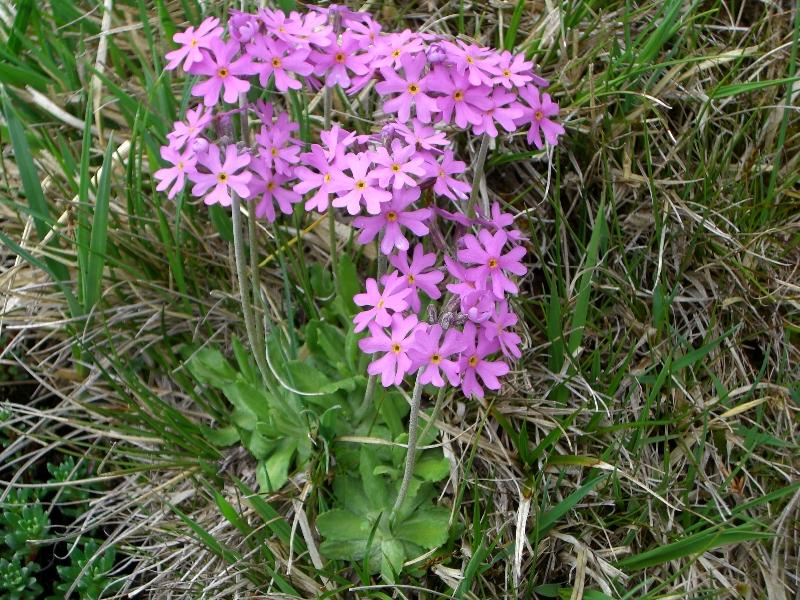 Primulaceae Primula farinosa
